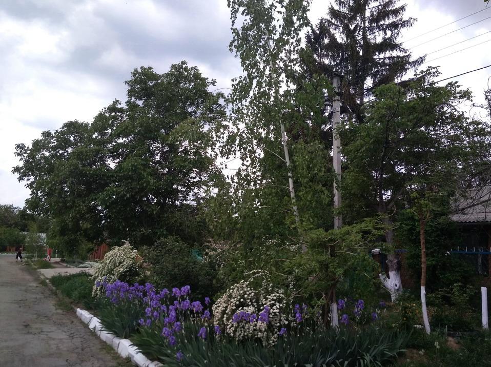 Название: Березки в Молдавии.jpg Просмотров: 939  Размер: 288.9 Кб
