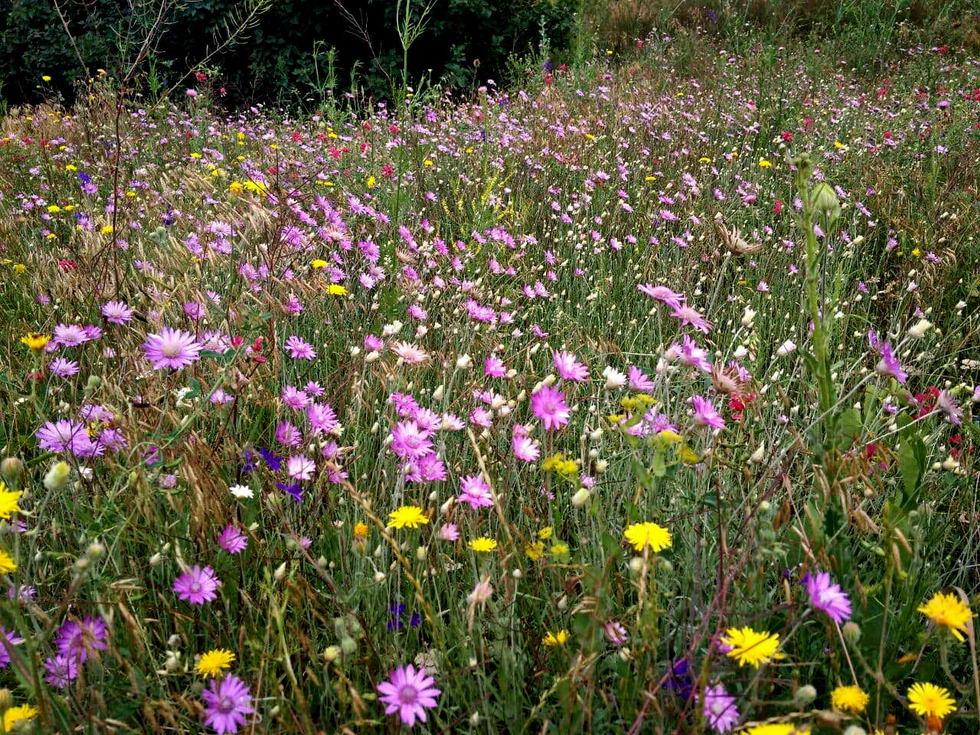Название: Приднестровье - полевые цветы летом.jpg Просмотров: 30  Размер: 271.5 Кб
