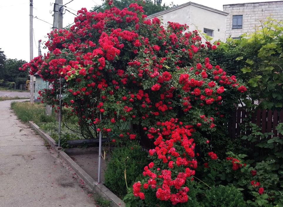 Название: Кусты роз - цветение.jpg Просмотров: 9  Размер: 302.7 Кб