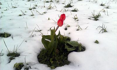 Нажмите на изображение для увеличения Название: Тюльпаны в снегу в апреле.jpg Просмотров: 225 Размер:95.9 Кб ID:1834