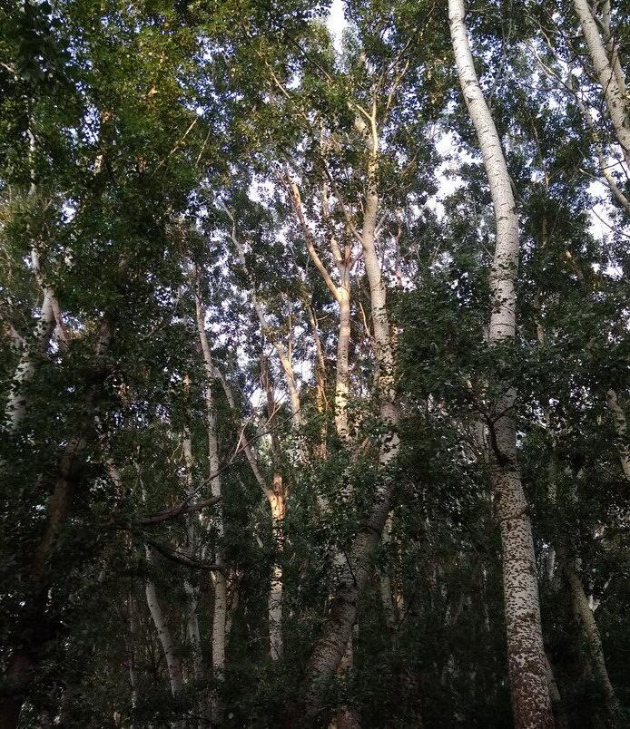 Название: Тополиный лес.jpg Просмотров: 62  Размер: 230.3 Кб