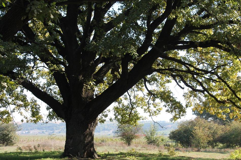 Название: Большой дуб на фото.jpg Просмотров: 78  Размер: 302.9 Кб