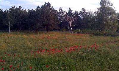 Нажмите на изображение для увеличения Название: Маковая полянка в лесу.jpg Просмотров: 610 Размер:97.6 Кб ID:2250
