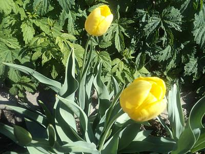 Нажмите на изображение для увеличения Название: Желтые тюльпаны.jpeg Просмотров: 374 Размер:93.1 Кб ID:1789