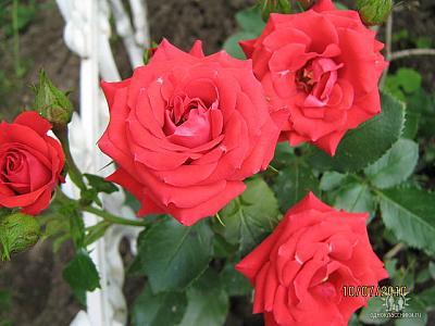 Нажмите на изображение для увеличения Название: Красные розы.jpeg Просмотров: 382 Размер:55.7 Кб ID:1791