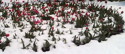 Нажмите на изображение для увеличения Название: Тюльпаны и снег.jpg Просмотров: 373 Размер:110.4 Кб ID:1835