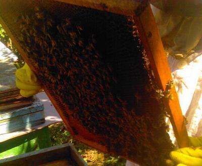 Нажмите на изображение для увеличения Название: Соты с пчелами.jpg Просмотров: 120 Размер:67.4 Кб ID:1807